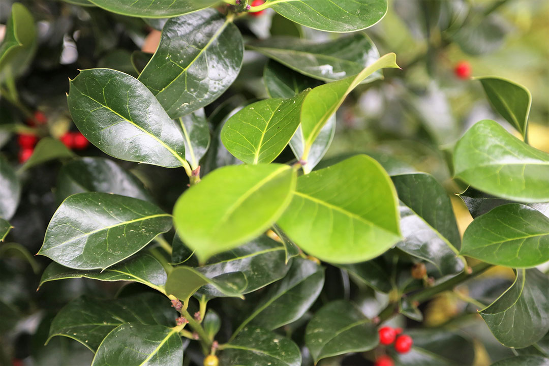 Wilson holly leaves