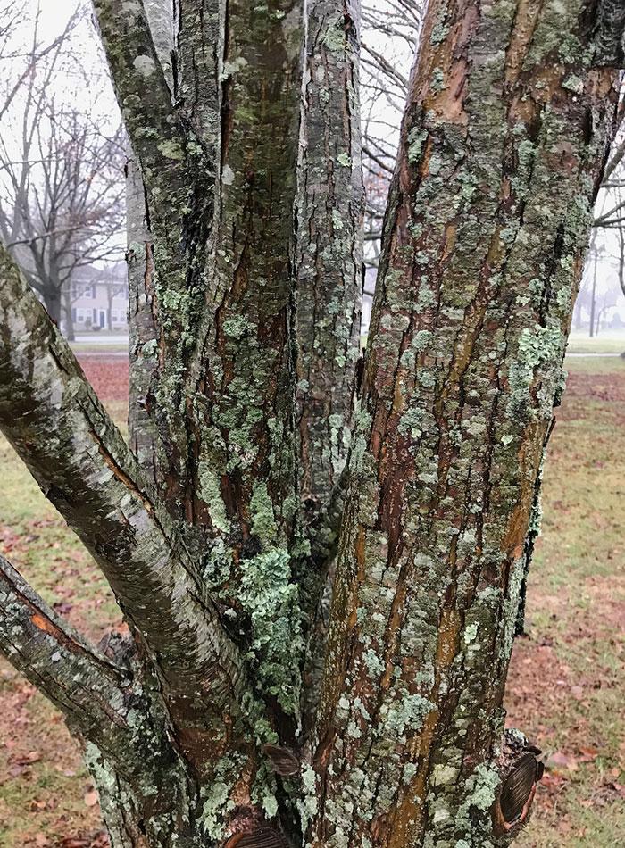 Lichen on a katsura