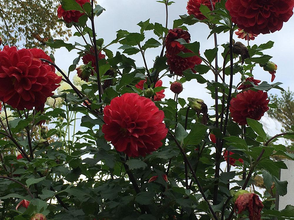'Wisconsin Red' dahlia