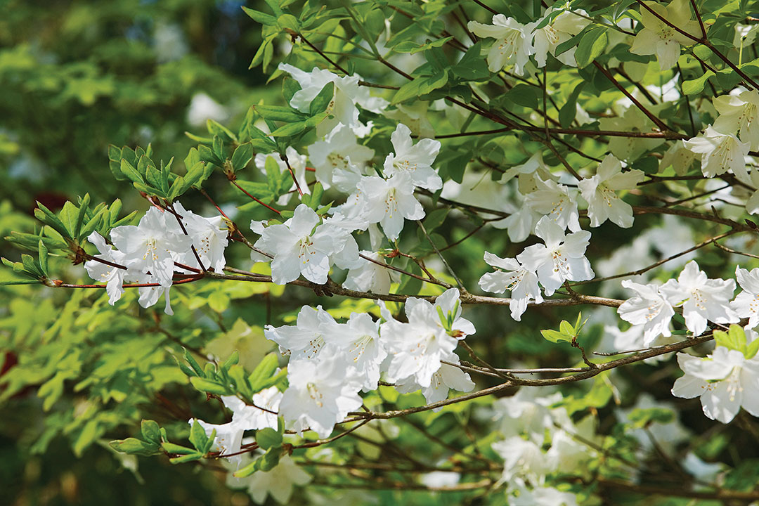 five-leaved azalea