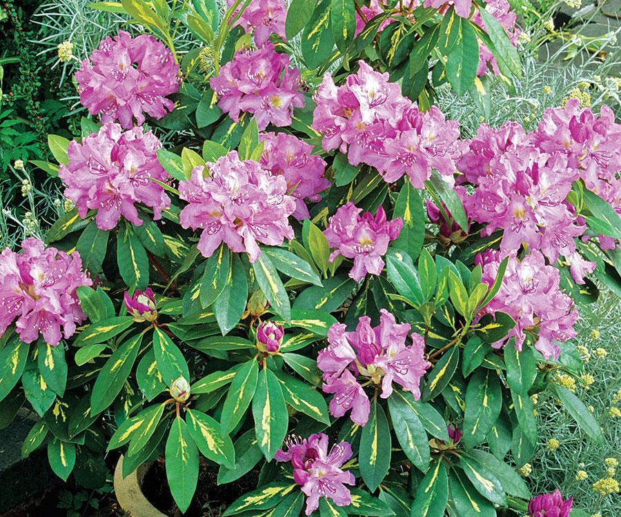 'Goldflimmer' rhododendron