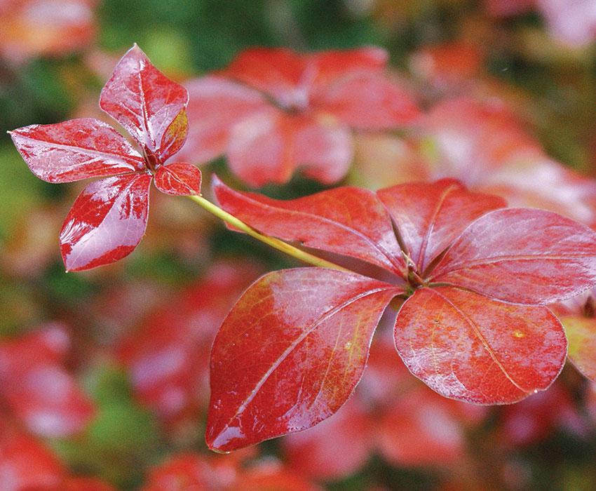 five-leaved azalea foliage