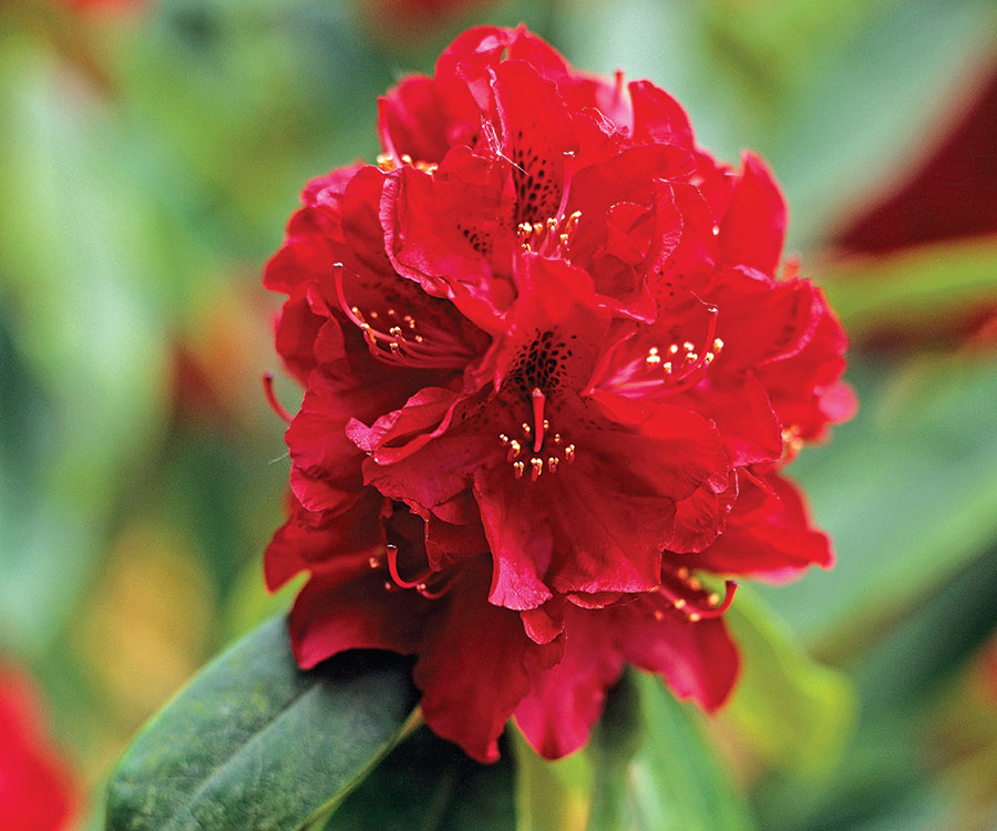 'Henry's Red' rhododendron