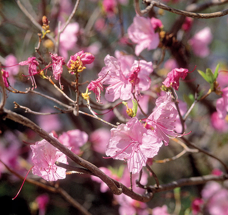 'Cornell Pink' Korean rhododendron
