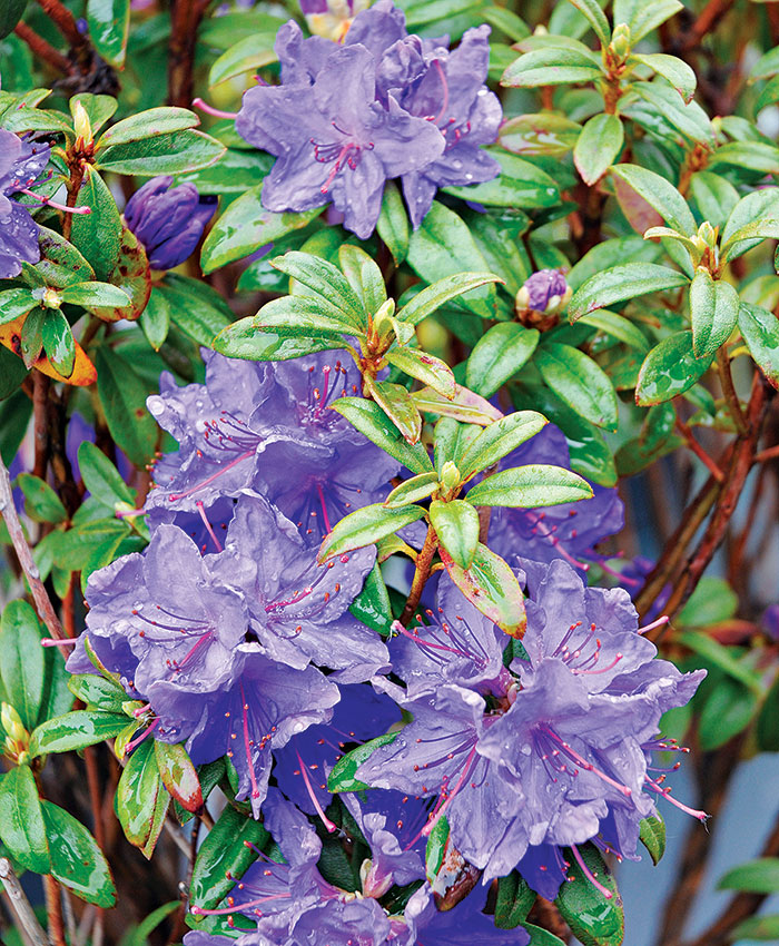 'Blue Baron' rhododendron