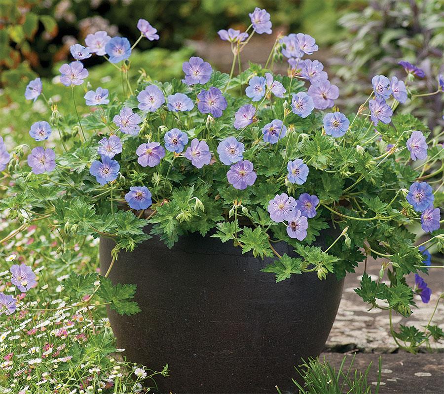 'Azure Rush' geranium