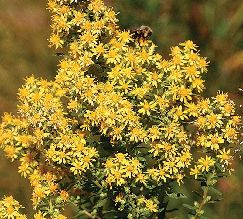 'Wichita Mountains' goldenrod