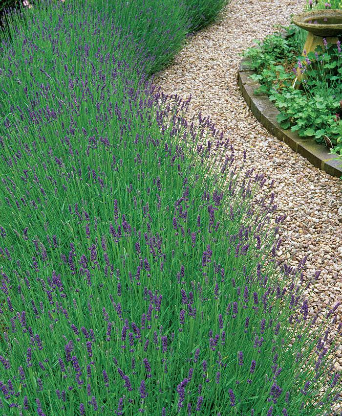 'Imperial Gem' lavender