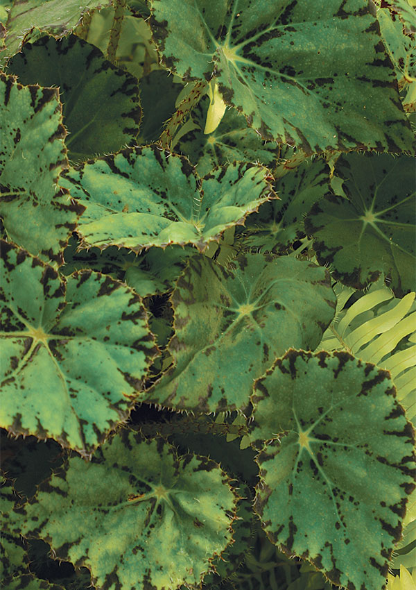 Find The Right Begonia For You Finegardening