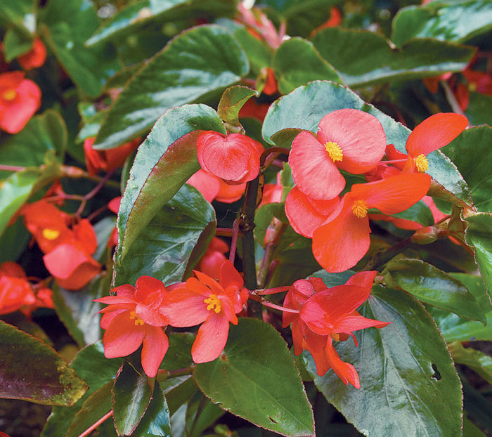 How To Keep Your Begonias Happy Finegardening