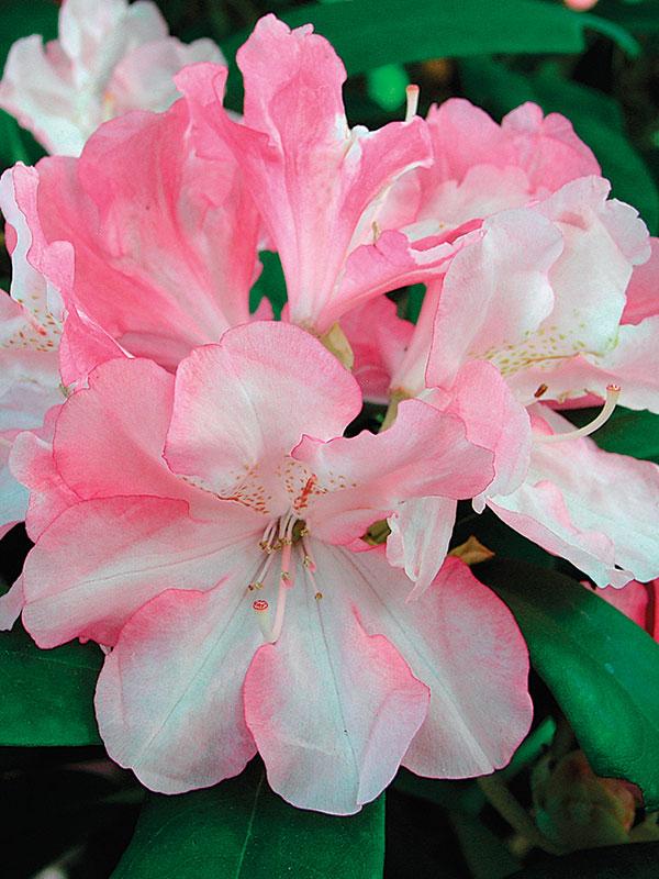 'Yaku Prince' Rhododendron