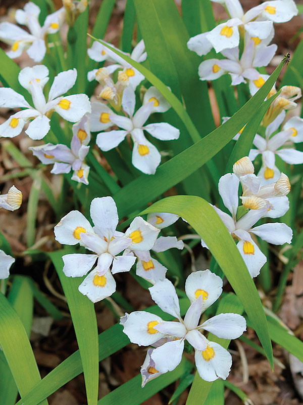Mount Odae Iris