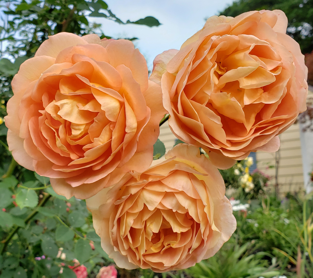 A Celebration Of Roses For A Hot And Humid Climate Finegardening
