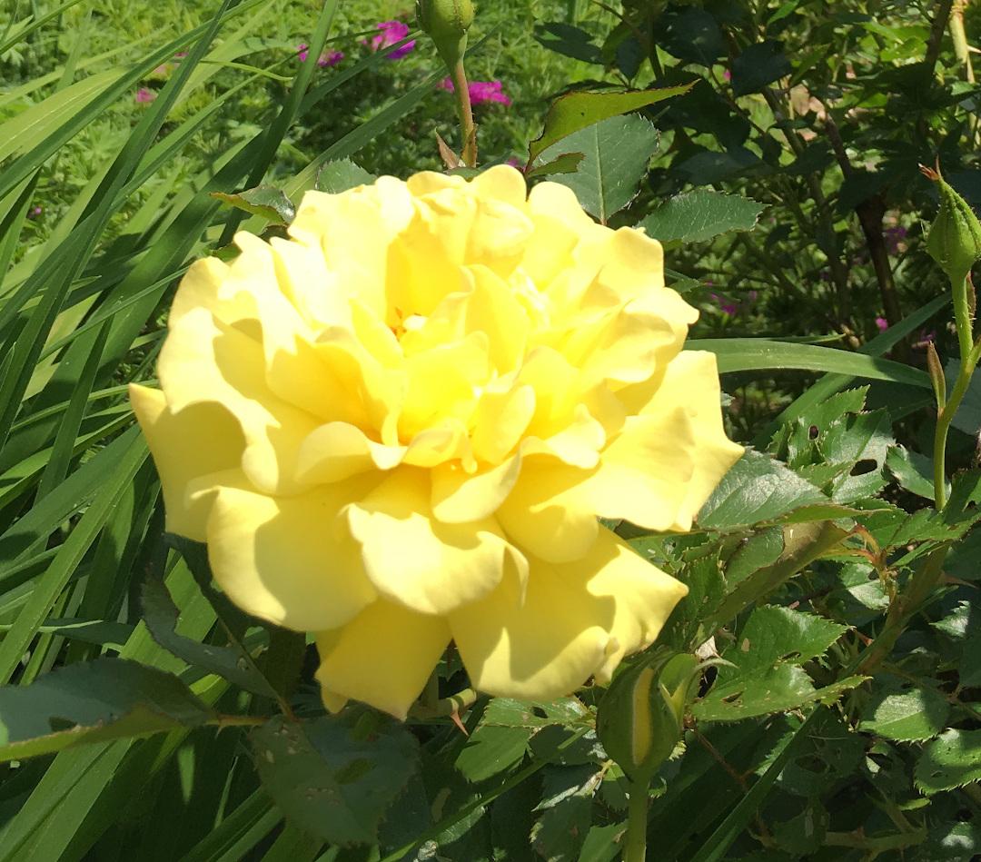 Yellow Submarine rose