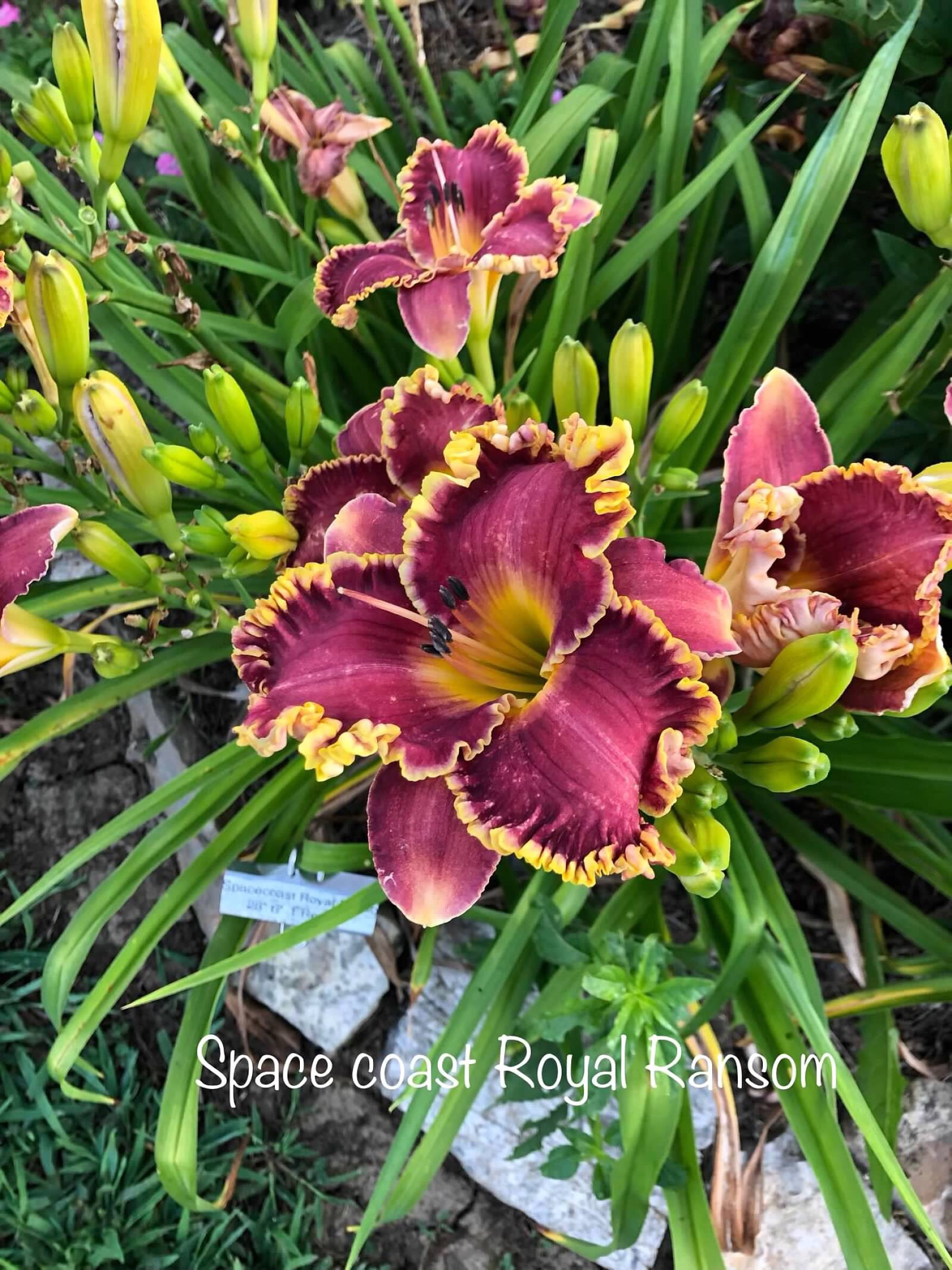 Daylily 'Space Coast Royal Ransom'