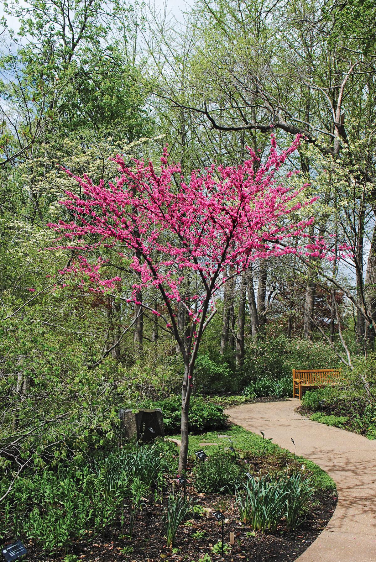 'Appalachian Red' Eastern redbud (C. canadensis 'Appalachian Red')