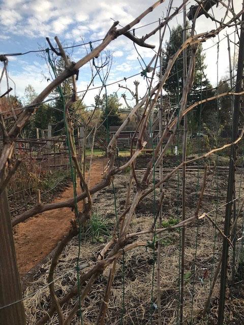 dormant grapevine