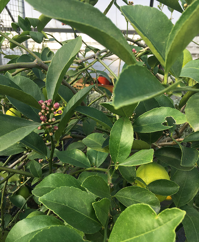 Citrus trees in bloom