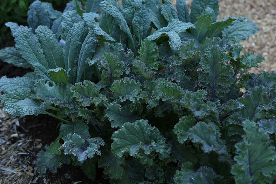 scarlet and lacinato kale