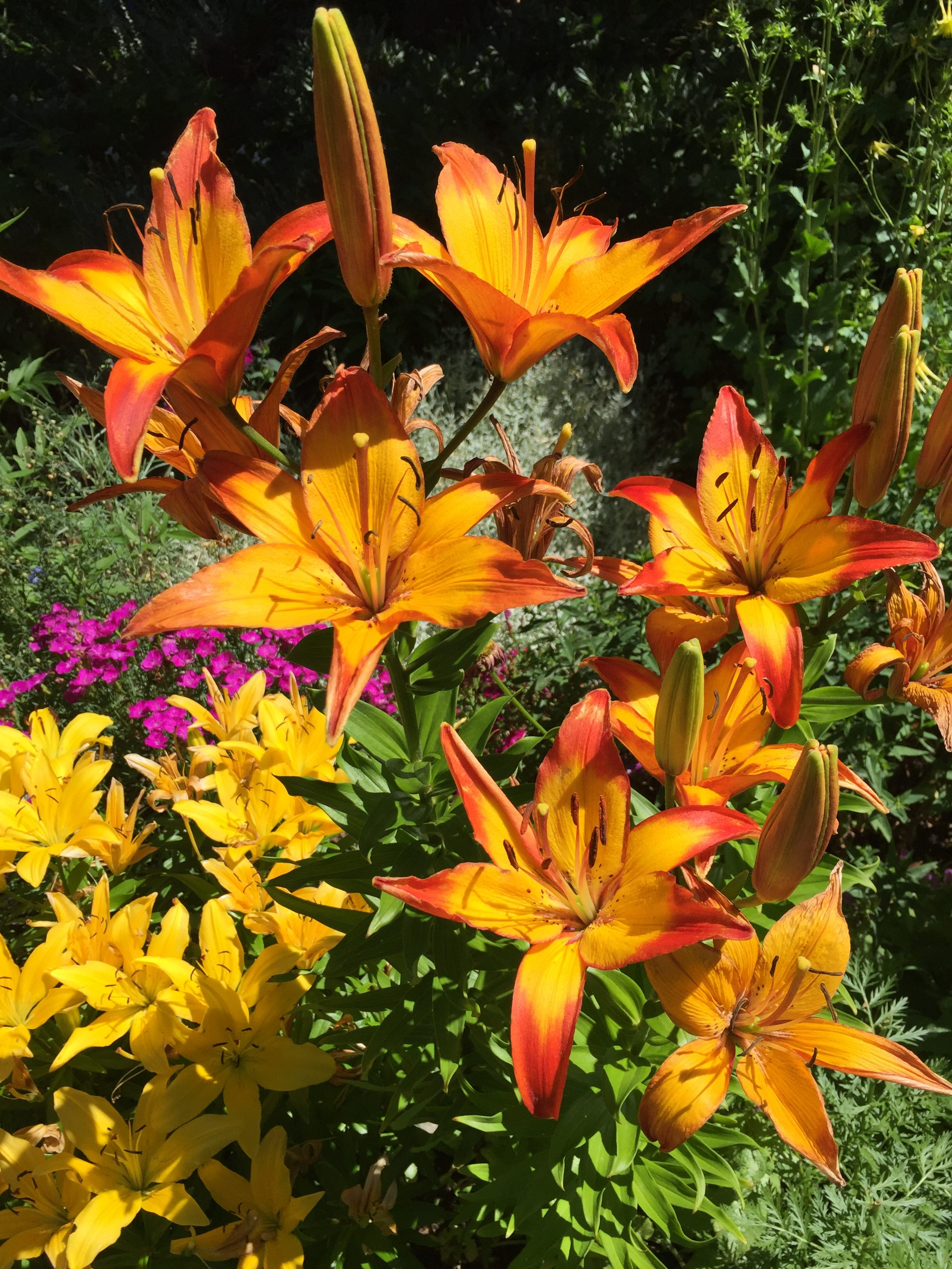 Border lilies