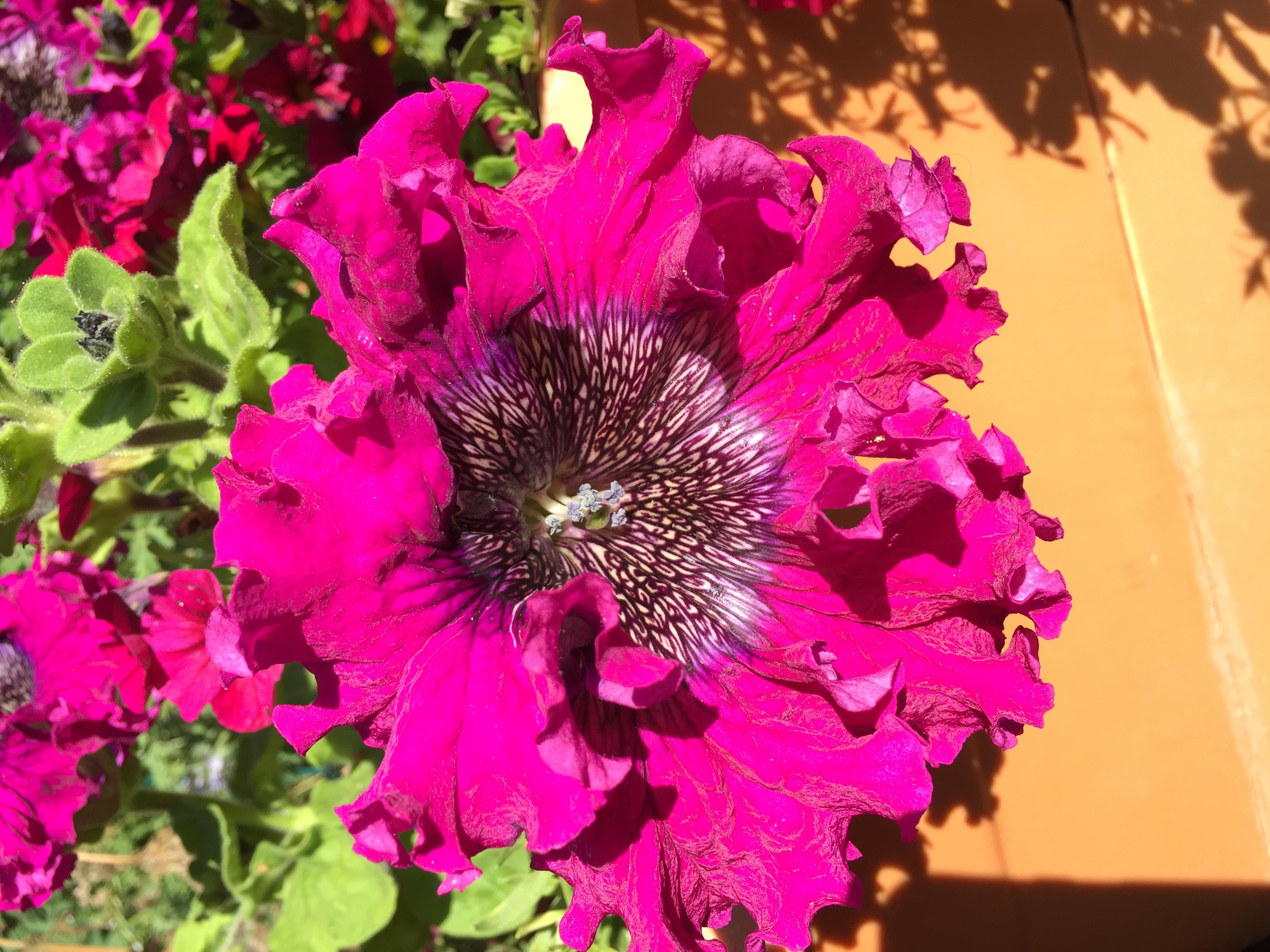 'Spellbound' petunia