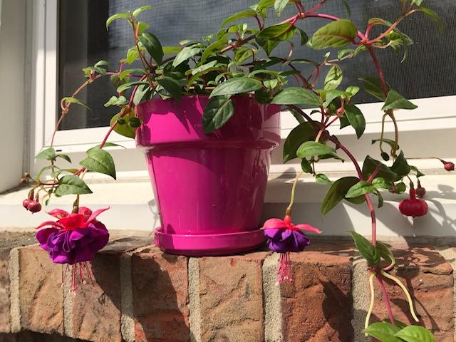 fuchsia plant