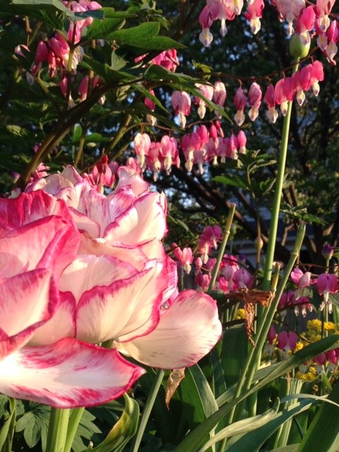 Pink-and-white tulips