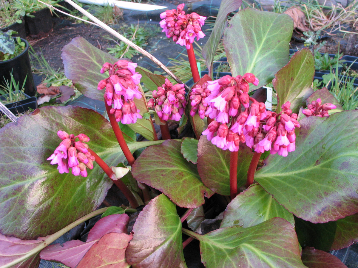 'Eric Smith' bergenia (courtesy of Far Reaches Farm)