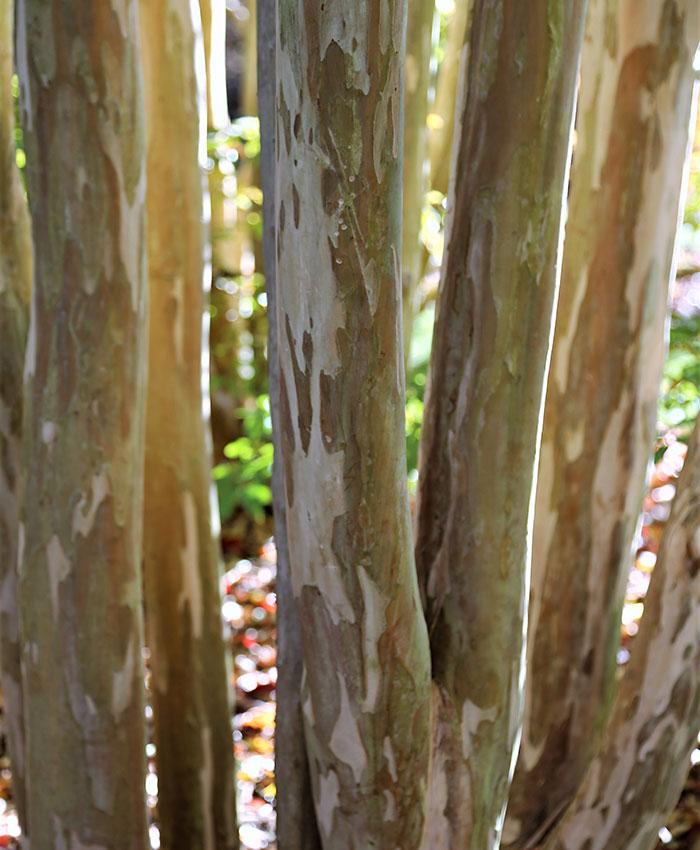 'Natchez' crepe myrtle bark