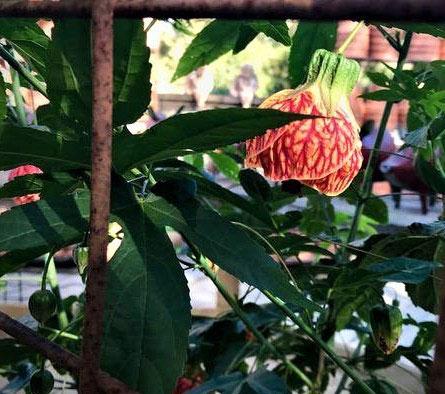 'Tiger Eye' flowering maple