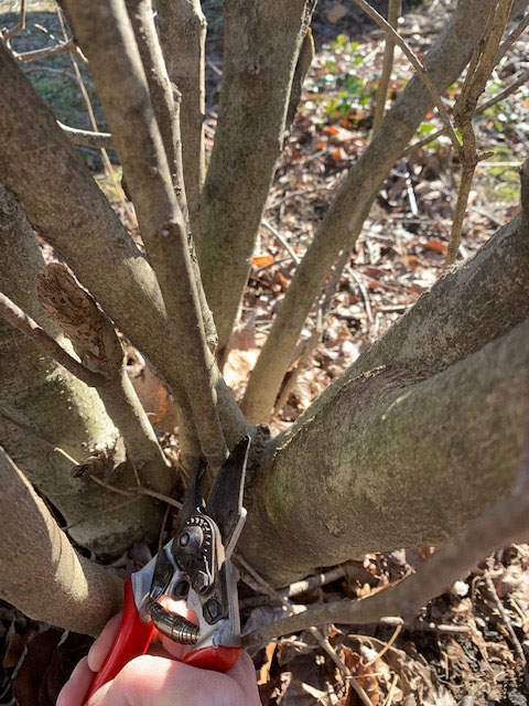 pruning magnolia sprouts