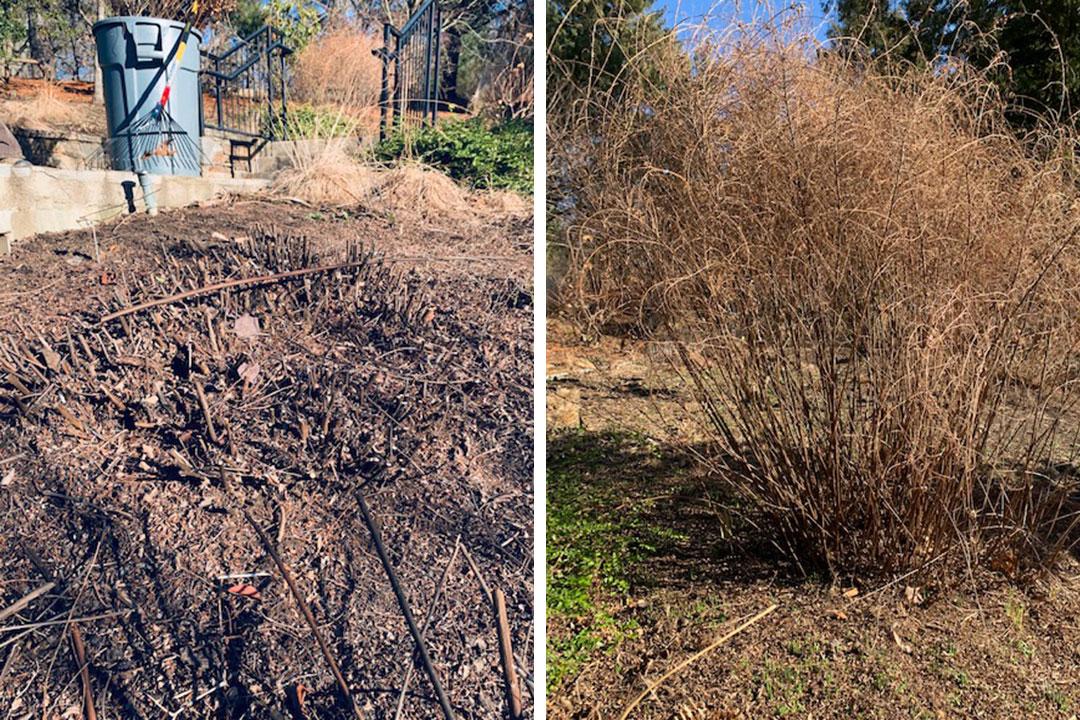 pruning bushy shrubs