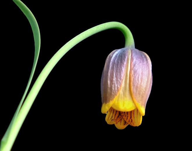 Inverted tulip