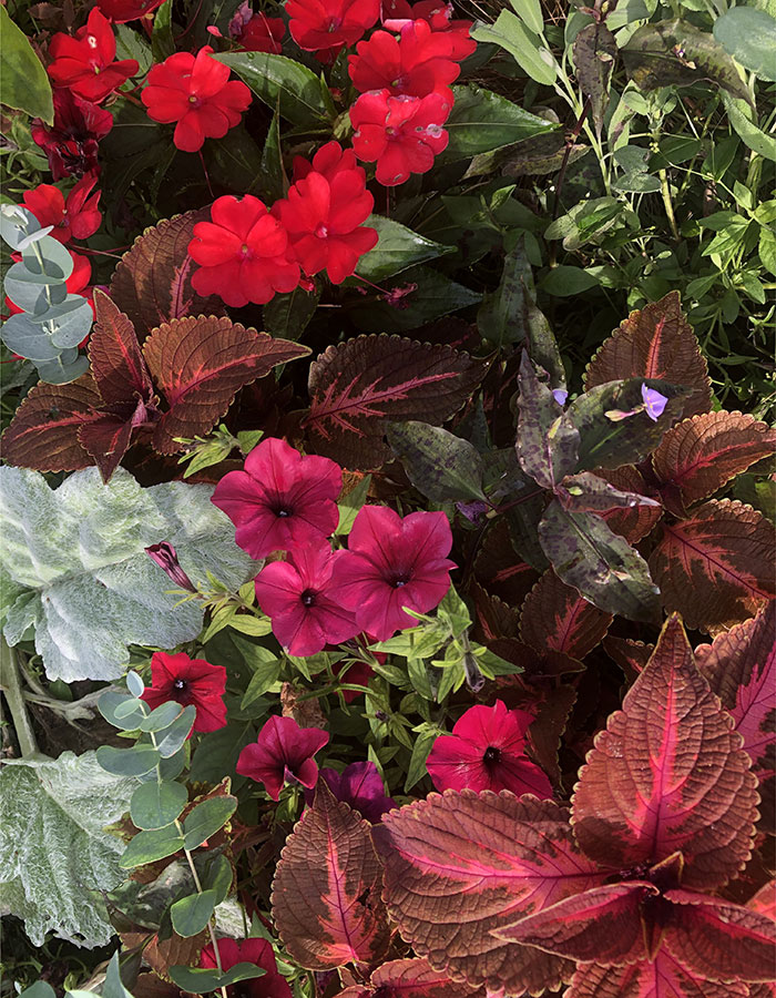 Easy Wave® Burgundy Velour spreading petunia