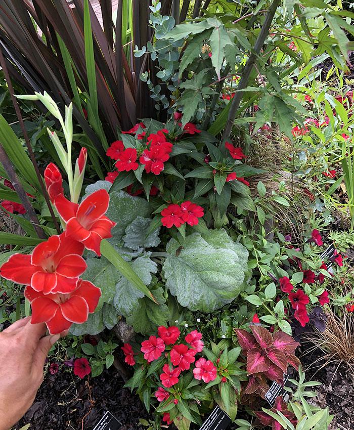 'Atom' gladiolus