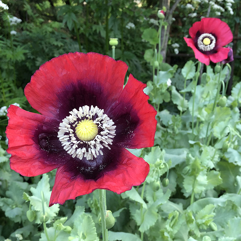 'Turkish Red' breadseed poppy