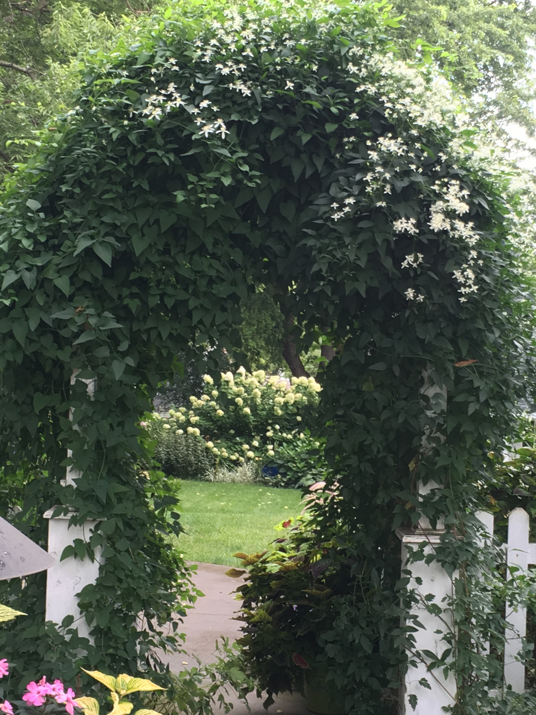 clematis on an arbor