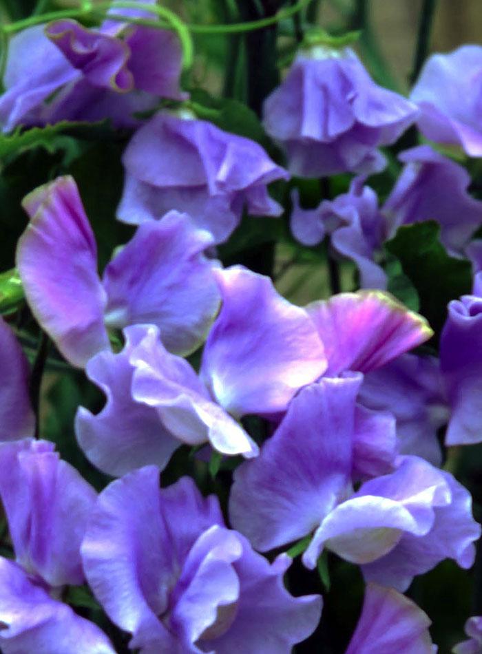 'Blue Celeste' sweet pea