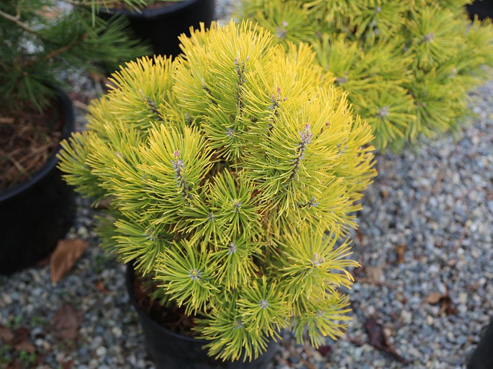 Winter Sun mugo pine