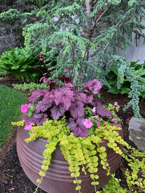 creeping jenny in a container