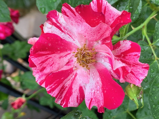 Fourth of July Rose