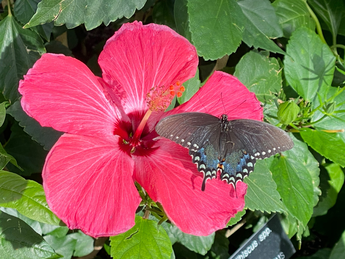 spicebush swallowtail on hibiscus