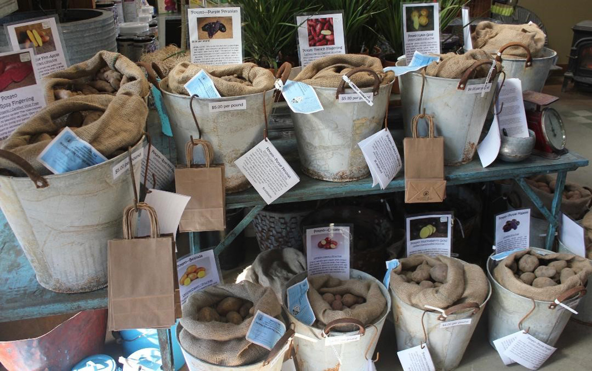 seed potatoes in buckets