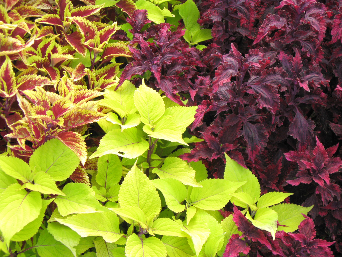 Coleus for containers