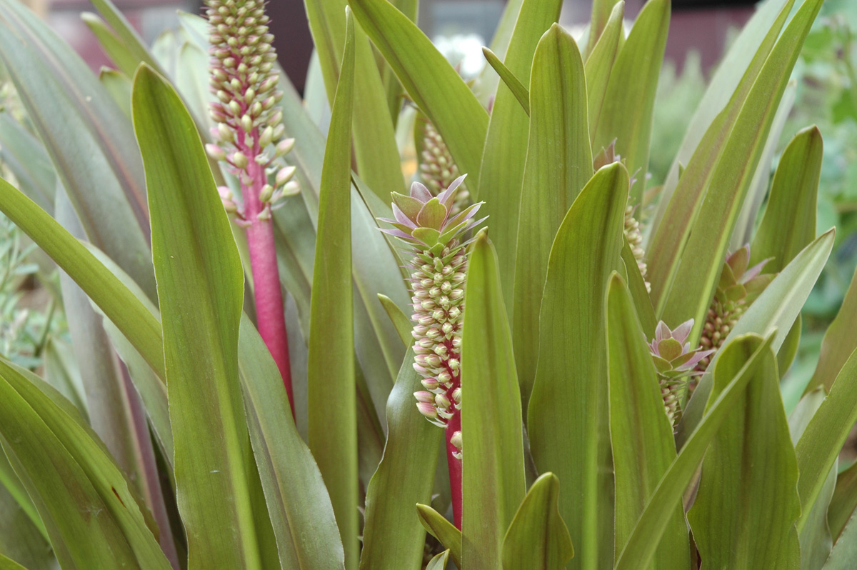 'Sparkling Burgundy' pineapple lily