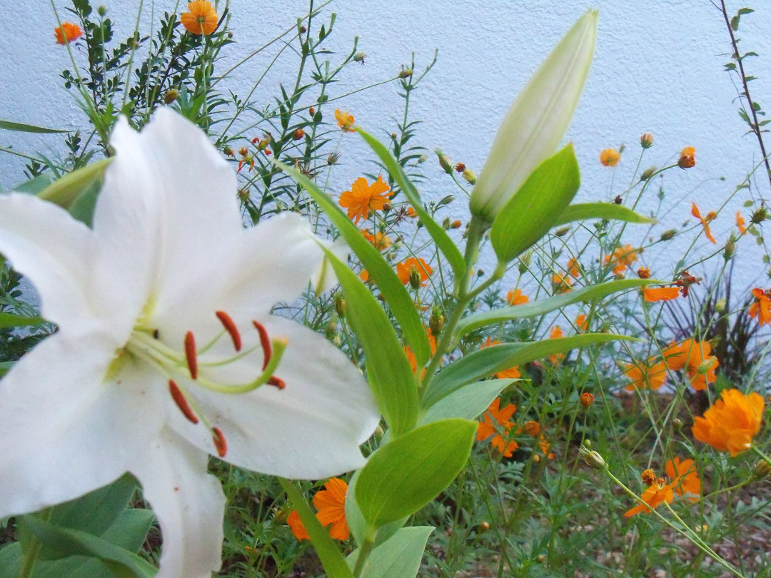 white oriental lily