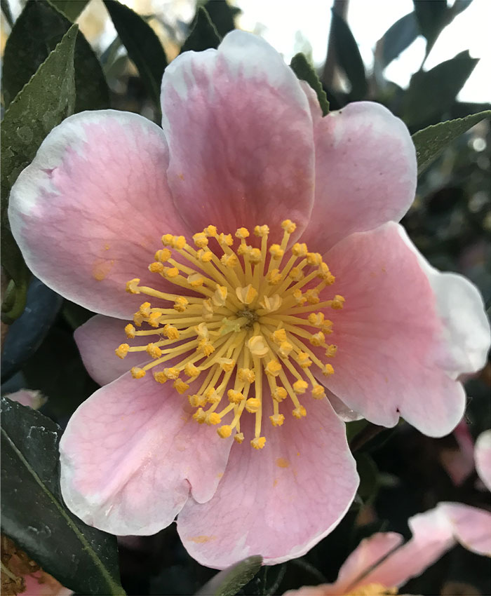 Pink-a-Boo camellia