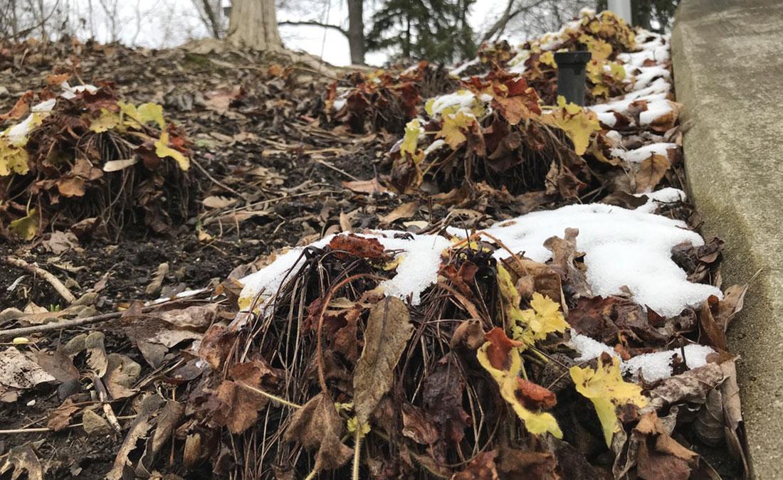 Heuchera frost heave