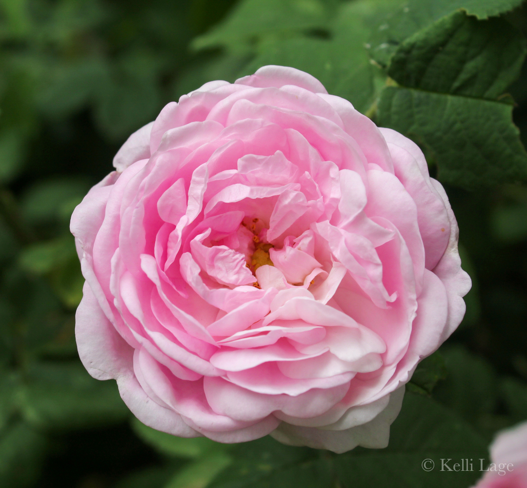 old-fashioned looking rose