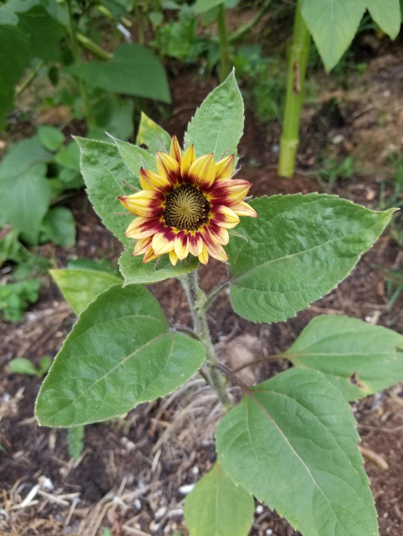 'Joker' sunflower